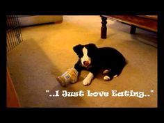 Border Collie Puppy Eating Habits