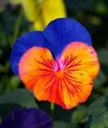 Saavyseeds Sunburst Pansy Seeds - 35 Count: Direct-sow the seeds. When the soil has already warmed and spring is well underway, this plant will flower within 5 to 6 weeks of sowing. Exotic Flowers, Pretty Flowers, Blue Flowers, Yellow Roses, Pink Roses, Johnny Jump Up, Flower Seeds, Cactus Flower, Types Of Flowers