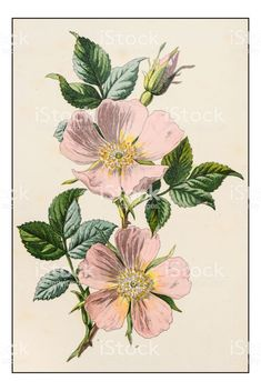 An poster sized print, approx (other products available) - Antique color plant flower illustration: Rosa canina (dog rose) - Image supplied by Fine Art Storehouse - poster sized print mm) made in Australia Art Floral, Vintage Floral, Vintage Flowers, Retro Vintage, Illustration Blume, Botanical Illustration, Floral Illustrations, Illustrations Posters, Zealand Tattoo