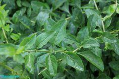 Arbusto productor de las bayas de Goji. http://www.plantamus.es/comprar-frutales/comprar-planta-de-pequenos-frutos-