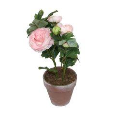 Blomst i potte Ranunkler