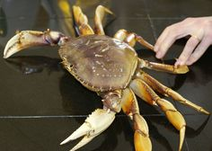 Pictures of How to Cook and Clean a Fresh Dungeness Crab