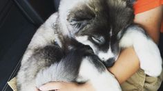 Sweet Baby boy is soooo tuckered out from playing at the park! Resting in daddy's arms now. #naptime #KyloInOhio #huskyvideo #huskypuppy