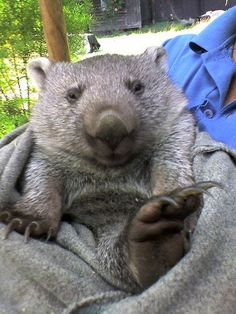 19 Pictures Of Cute Baby Animals That Will Instantly Brighten Your Day And Make You Smile 19 immagini di simpatici animaletti Cute Wombat, Baby Wombat, Creepy Animals, Funny Animals, Baby Owls, Cute Baby Animals, Quokka, Australian Animals, Tier Fotos