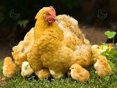 Условия, создаваемые для выращивания цыплят  =========================== Выращивание цыплят – это сложный и трудоемкий процесс. Однако многие птицеводы стремятся самостоятельно «поставить» на ноги своих питомцев.  http://kurinyjdom.ru/razmnozhenie-kurits/usloviya-sozdavaemye-dlya-vyrashchivaniya-tsyplyat.html