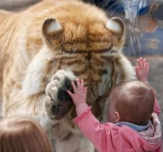 PetsLady's Pick: Cute Tiger And Tot Of The Day  ... see more at PetsLady.com ... The FUN site for Animal Lovers