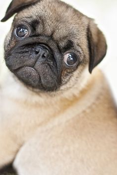 Pug puppy modeling    Like, repin, share! :)
