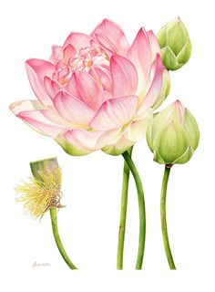 Lotus Botanical Heidi Willis: Lotus Botanical. Watercolour 42x55cm / 16.5×21.7inch