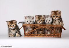 Tigers-kitties | Animals  atisket starlet kittens in a basket