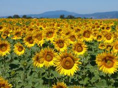 Topul producătorilor europeni de floarea-soarelui: România, pe primul loc | Ziarul Financiar
