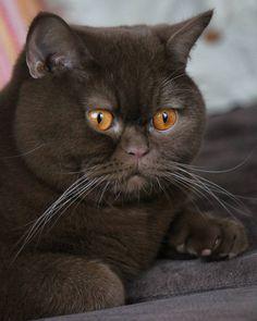 simply regal feline with gorgeous eyes...
