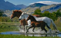 Horse Pictures Only   loving horse running in water wallpaper loving horse running fast in ...