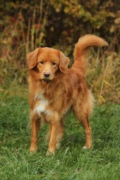 Nova Scotia Duck Tolling Retriever is my #2. If only I had $1,500 to fork over for this little fox. The little river duck dog is definitely my top choice...