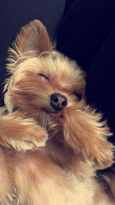 The coziest pup #yorkshireterrier