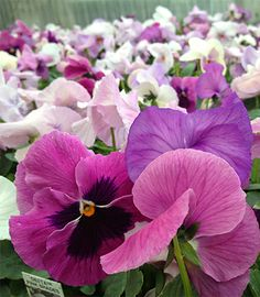 Pansies In The Pantone Color Of The Year Available At Bucks Country Gardens,  While Supplies