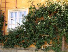 Lepaan miljöö: Vanha säleikköomenapuu - Lepaa gardens: Old apple tree grown in trellis