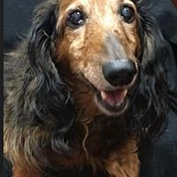 Pin By Trucy Baker On I Love Doxies Dachshund Adoption