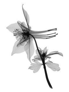 51bd459bdc86c Image result for black and white columbine tattoo Columbine Tattoo,  Columbine Flower, Colorado Tattoo