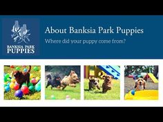 Banksia Park Puppies, where did your cavoodle or spoodle come from? Is Banksia Park Puppies really a 'puppy farm'? We are a professional breeder and NOT a pu. Poodle Puppies For Sale, Cute Puppies, Dogs And Puppies, King Charles Spaniel, Cavalier King Charles, Schnoodle Puppy, Veterinary Care, Cute Puppy Videos
