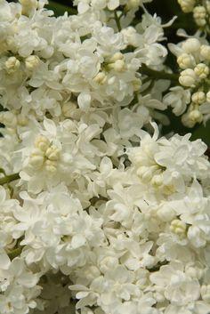 Syringa Vulgaris, Love Flowers, Coconut Flakes, Snack Recipes, Spices, Gardens, Lilac, Bamboo, Plants