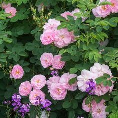 Alba Rose-Old Rose.'Celestial'.  A rose of exquisite beauty. Translucent shell-pink flowers with a strong, sweet scent.