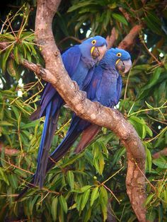 Hyacinth Macaws from the Pantanal in Brazil
