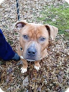 Ridgewood, NY - American Pit Bull Terrier Mix. Meet Stonehenge a Dog for Adoption.