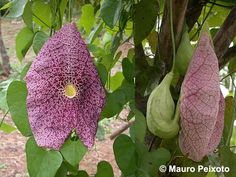 Aristolochia sp 'Itarana' – an evergreen shade vine. Would like to try to grow this.