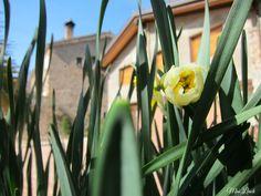Els primers d'anunciar la primavera: els narcisos!! març 2015 Plants, Daffodils, Spring, Flora, Plant, Planting