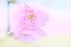 Cherryblossom  by mugiwarabousi #nature #photooftheday #amazing #picoftheday
