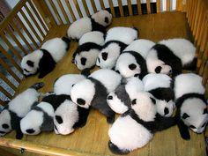 昼寝する赤ちゃんパンダは何匹いてもかわいい