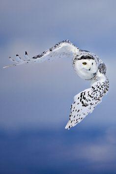 Schnee-Eule im Flug … Mehr