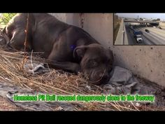 Pit Bull Lived Next To Busy Traffic Until He Was Pet For The First Time