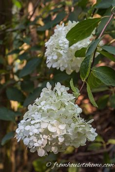 "Hydrangea paniculata ""Pee Gee"" during the ""white"" stage of flowering Smooth Hydrangea, Hydrangea Not Blooming, Blooming Plants, Hydrangea Flower, Hydrangea Shade, Hydrangea Garden, Flowers Garden, Part Shade Perennials, Fall Perennials"