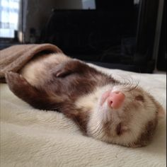 #ferret Wolfys Wondifferous World of Weasels...Ferrets, that is!!...Deaf Ferrets