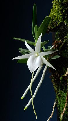 """Angraecum didieri orchid. These plants are native to Madagascar and are tough as nails. They prefer growing in straight charcoal in a 1/2"""" to 3/4"""" size. Water when dry. They like bright light and intermediate to warm temperatures. These are more on the miniature side with flowers that can be 2-3 inches in size and are fragrant at dusk and during the night. Larger single growth divisions."""