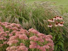 "fall combo..Sedum Autumn Fire, Pennisetum ""Cassian"", Echinacea Summer sky"