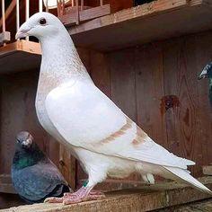 Cute Pigeon, Pigeon Bird, Pigeon Pose, Racing Pigeon Lofts, Pigeon Loft Design, Pigeon Pictures, Pigeon Breeds, Homing Pigeons, Raised Garden Beds