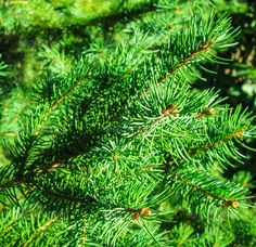 Pine twigs