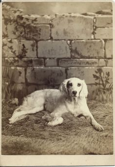 """1884 cabinet card of """"Gem,"""" a white setter lying in front of the photographer's painted prop """"wall."""" Written in ink on verso: """"Gem"""" August 2, 1884. Born April 2, 1882. Photo by H. B. Eggert, 142 South Main Street, Bethlehem, Penna. From bendale collection"""