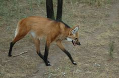 Maned wolf - lives in the forests of South America