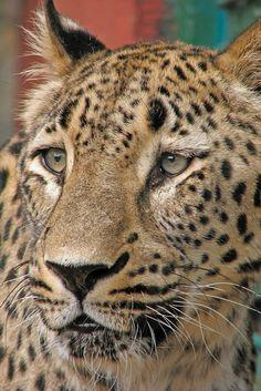 Persian Leopard, Anre