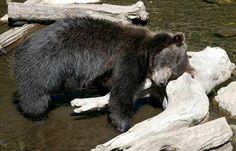 Alaskan Coastal Brown Bear, Toby, 4 yrs old orphan