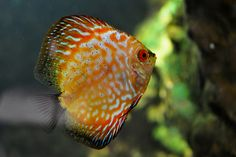 Red Turquoise Discus Fish