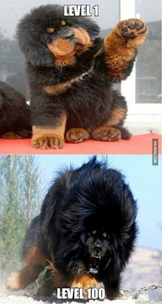 Majestic Tibetan Mastiff is part of Funny animal pictures - More memes, funny videos and pics on Funny Animal Memes, Cute Funny Animals, Funny Animal Pictures, Cute Baby Animals, Funny Cute, Funny Dogs, Animals And Pets, Hilarious Quotes, Beautiful Dogs