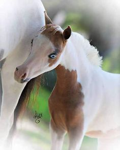Miniature Yearling Mares offered at MiniHorseSales.com