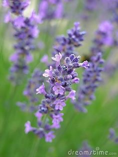 Items similar to Lavender & Sweet Marjoram (sleep my love) Solid Perfume by Natural Wisdom. Lavander, Lavender Fields, Lavender Flowers, May Flowers, Beautiful Flowers, Blue Garden, Stock Foto, Nature Images, Aromatherapy