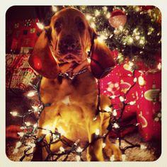 Bloodhound :)