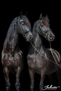 A pair of beautiful Friesian horses. - by Juliette Potografie