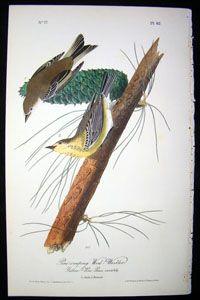 Pine-Creeping Wood-Warbler